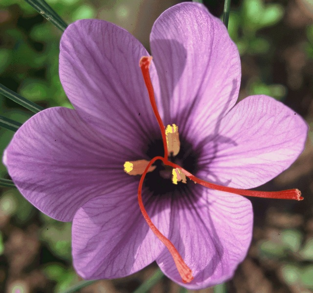 1 © Christian Agrech fleur de safran redim