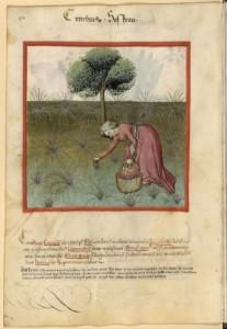 récolte du safran au moyen-age